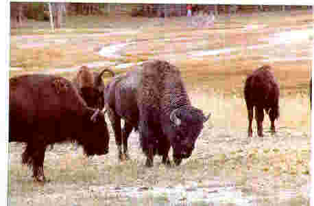 Old bison set to charge